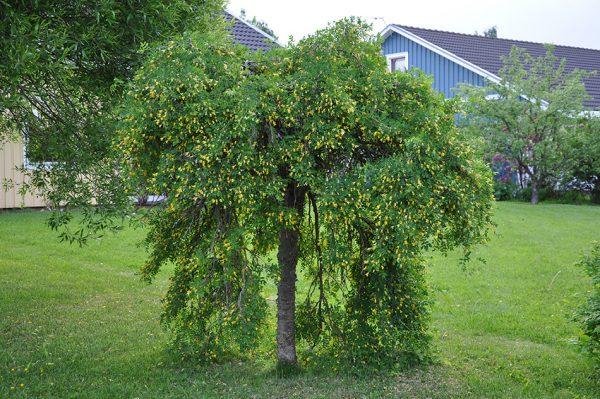 Карагана на штамбе плакучая Caragana arborescens