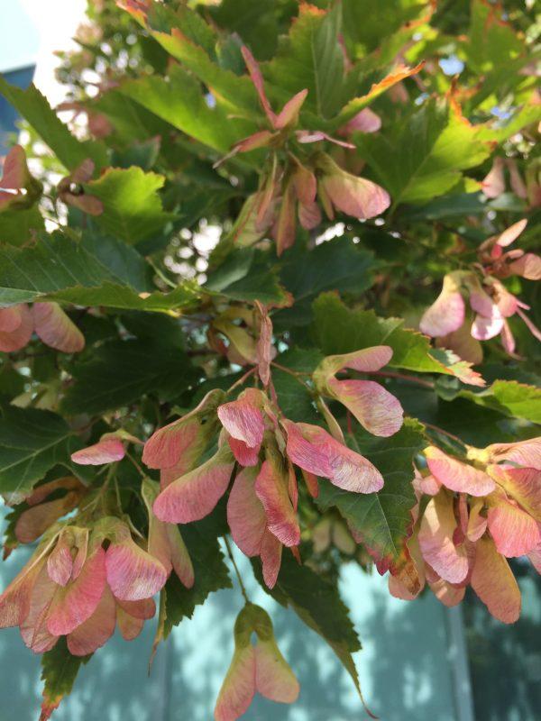 Клен Гиннала (Acer ginnala)