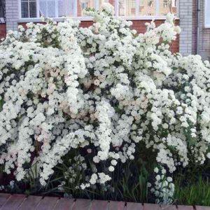Спирея Вангутта (Spiraea Vanhouttei)