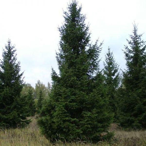 Ель обыкновенная (Picea abies) 125-150 , ком