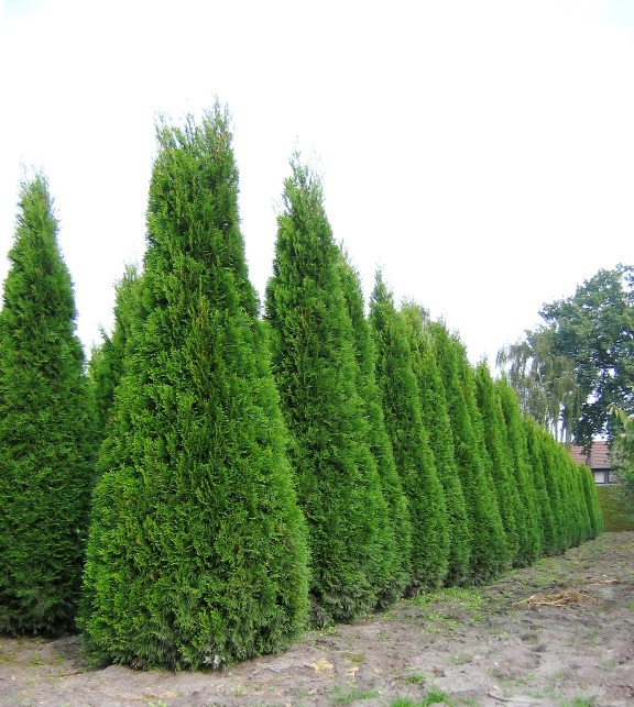 Туя западная 'Smaragd' (Thuja occidentalis 'Smaragd')
