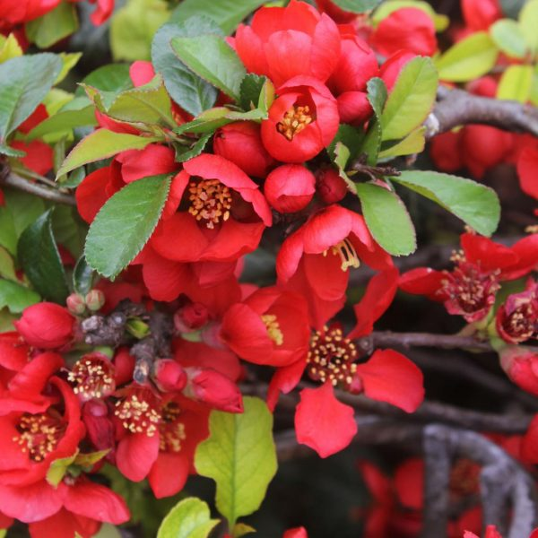 Айва японская (Chaenomeles japonica)