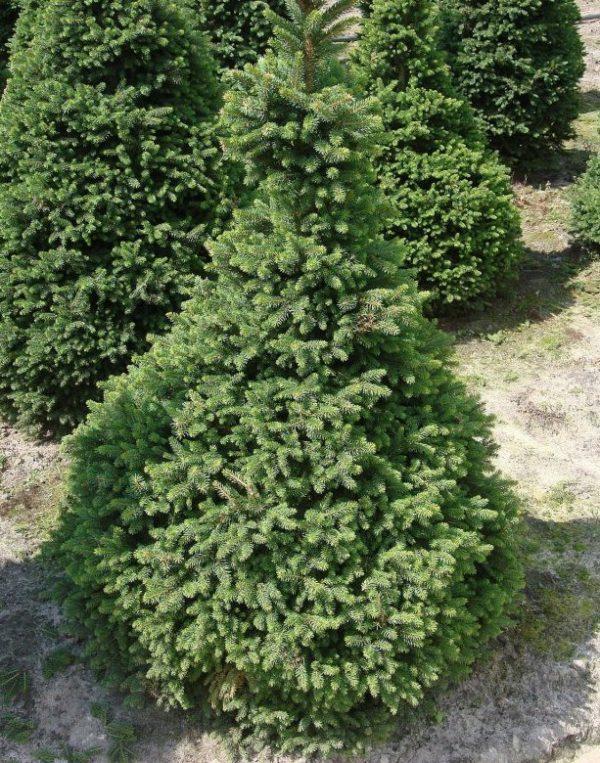 Береза бородавчатая, повислая Betula pendula