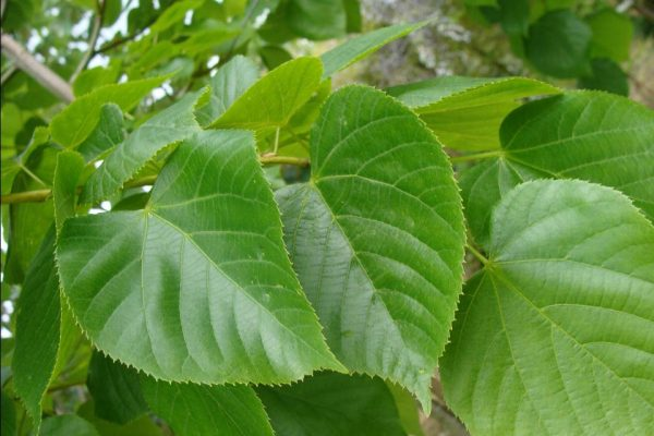Клен остролистный Глобозум (Acer platanoides 'Globosum')