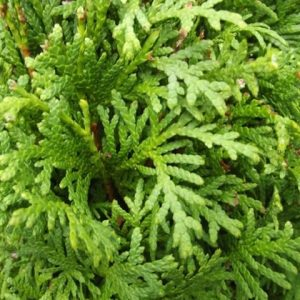 Туя западная 'Brabant' (Thuja occidentalis 'Brabant')