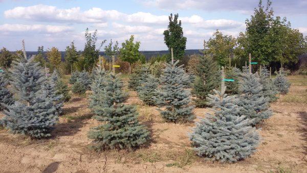 Ель колючая голубая (Picea pungens f. Glauca) 100-125 , ком
