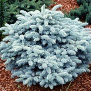 Ель колючая Глаука Глобоза Picea pungens Glauca Globosa