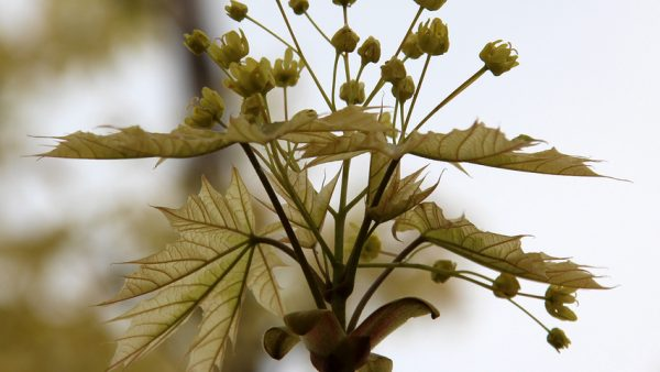 Вяз на штамбе Плакучий Кампердауни Ulmus glabra Camperdownii