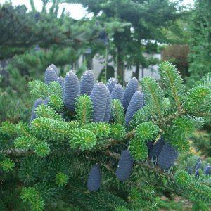 Пихта корейская (Abies koreana)