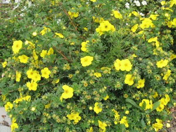 Лапчатка кустарниковая 'Goldfinger' (Potentilla fruticosa 'Goldfinger')