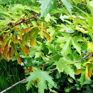 Клен серебристый (Acer saccharinum)