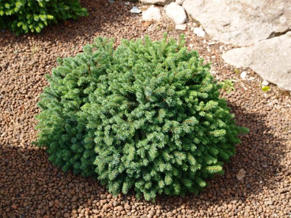 Ель сизая (канадская) 'Echiniformis' (Picea glauca'Echiniformis') 20-40 , C7.5