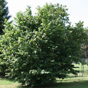 Лещина обыкновенная (Corylus avellana) 180-200 , ком