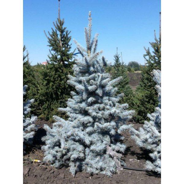 Ель колючая 'Hoopsii' (Picea pungens 'Hoopsii') 30-40 , C5