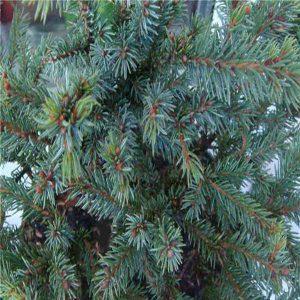 Ель сизая (канадская) Эчинформис (Picea glauca 'Echiniformis')