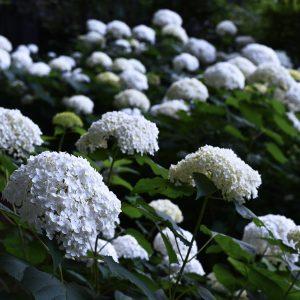 Гортензия древовидная 'Annabelle' (Hydrangea arborescens 'Annabelle')