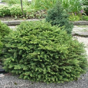 Ель обыкновенная 'Nidiformis' (Picea abies 'Nidiformis') 40-60, ком