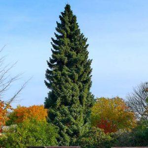Ель сербская (Picea omorica)