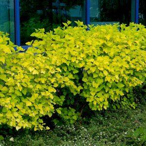 Пузыреплодник калинолистный 'Luteus' (Physocarpus opulifolius 'Luteus')