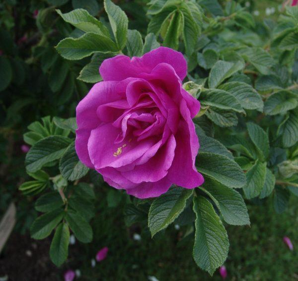 Роза морщинистая Ругоза (Rosa rugosa)