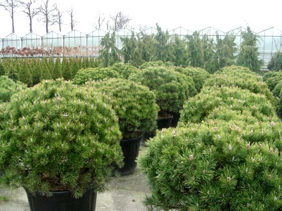 Сосна горная Мопс (Pinus mugo 'Mops')