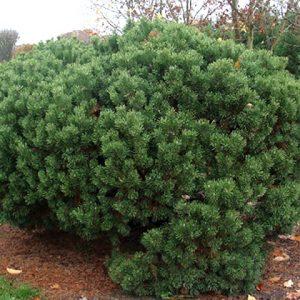 Сосна горная 'Mops' (Pinus mugo 'Mops') 40-50 ,ком+С20