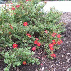 Лапчатка кустарниковая 'Red Robin' (Potentilla fruticosa 'Red Robin')