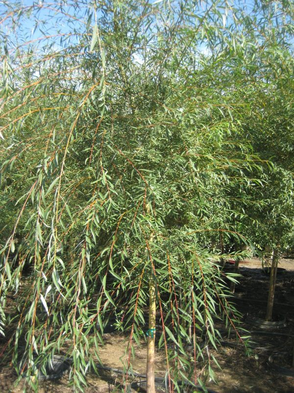 Ива белая Тристис (Salix alba 'Tristis')