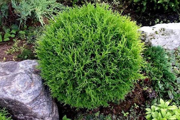 Туя западная 'Danica' (Thuja occidentalis 'Danica') 30-40 , С5