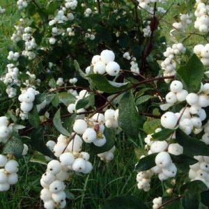 Снежноягодник белый (кистистый) (Symphoricarpos albus) 80-100, ком