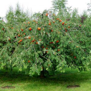 Рябина обыкновенная 'Pendula' (Sorbus aucuparia'Pendula') Pa220, 10/12,С31