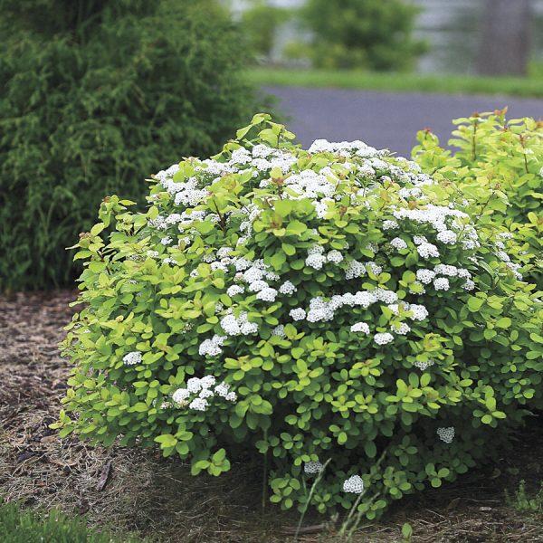 Спирея березолистная (Spirea betulifolia)