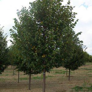 Липа мелколистная Гринспайер, Ранчо Tilia cordata Greenspire, Rancho
