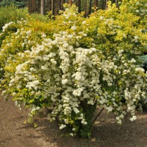 Спирея Вангутта Голд Фонтейн (Spiraea x vanhouttei Gold Fountain)