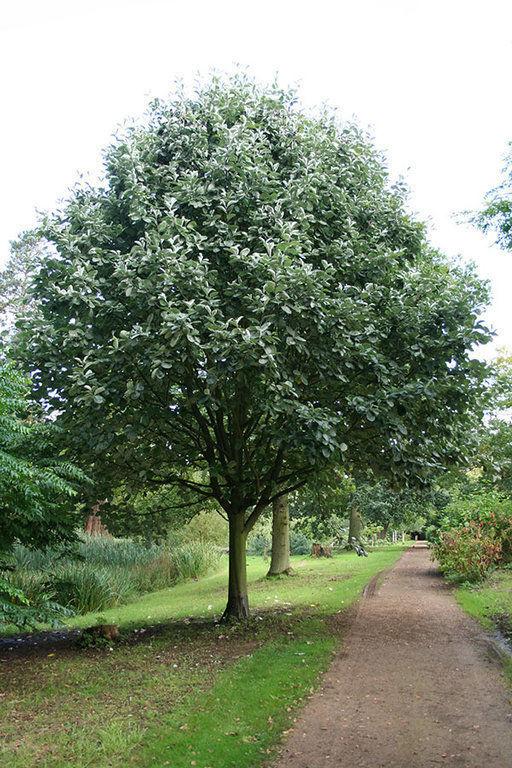 Рябина мучнистая Sorbus aria Magnifica,  Subtomentosa