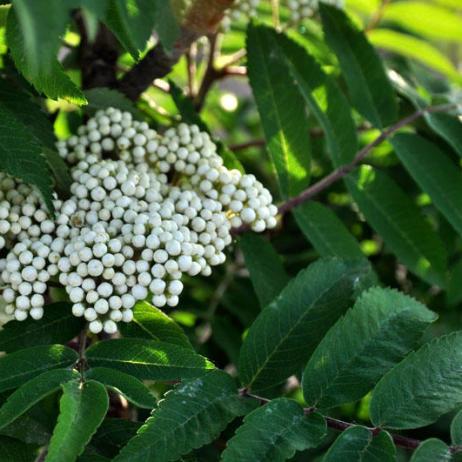 Рябина обыкновенная Sorbus aucuparia Fastigiata