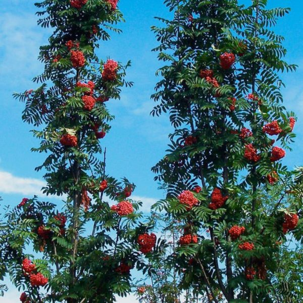 Рябина тюрингская Фастигиата Sorbus truringiaca Fastigiata