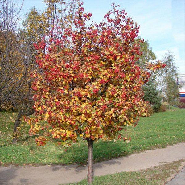 Рябина шведская промежуточная Sorbus intermedia