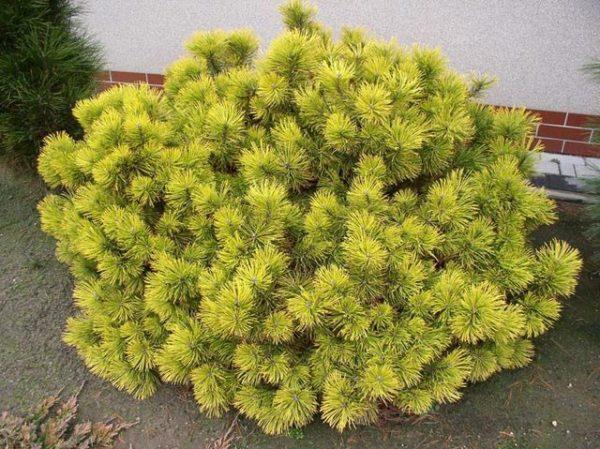 Сосна горная Карстен Pinus mugo Carsten