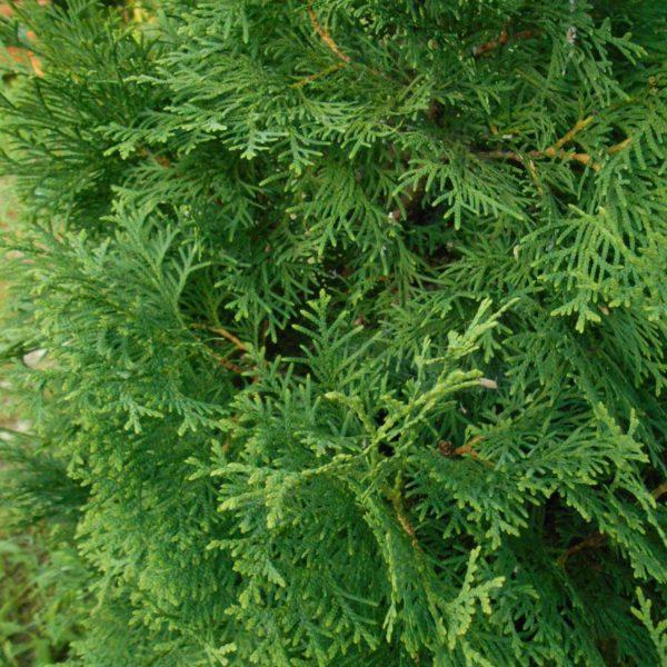 Туя западная Фастигиата  Thuja occidentalis Fastigiata