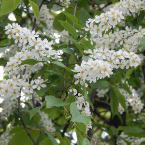 Черемуха  обыкновенная Колората Prunus padus Colorata 12/14