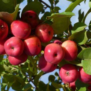 Яблоня декоративная в ассортименте