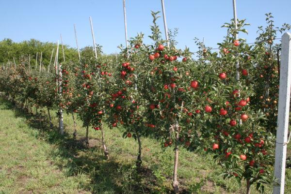 Яблоня плодовая в ассортименте