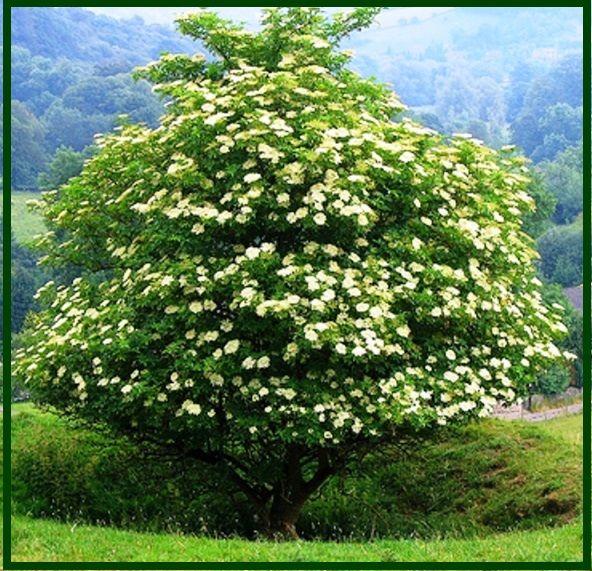 Бузина черная Sambucus nigra Aurea