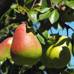 Груша плодовая в ассортименте