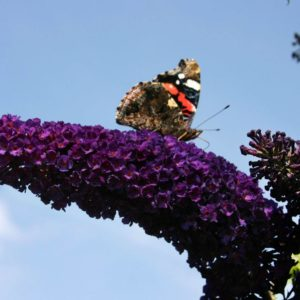Будлея давида Buddleja davidii Black Knight