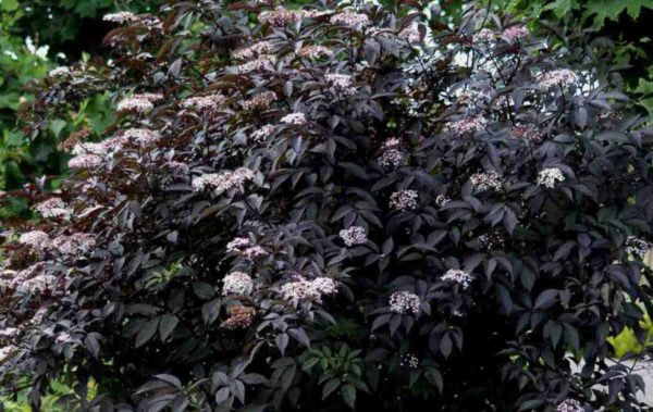 Бузина черная Sambucus nigra Black Beauty