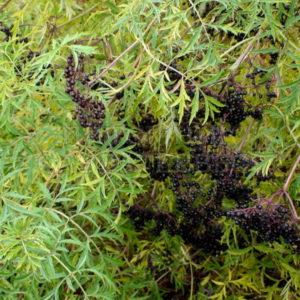 Бузина черная Sambucus nigra Laciniata