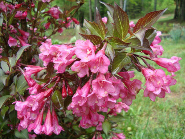 Вейгела Weigela florida Nana Purpurea