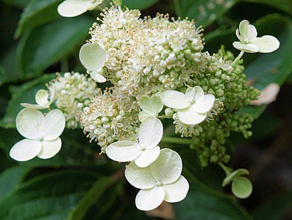 Гортензия метельчатая Hydrangea paniculata Prim White